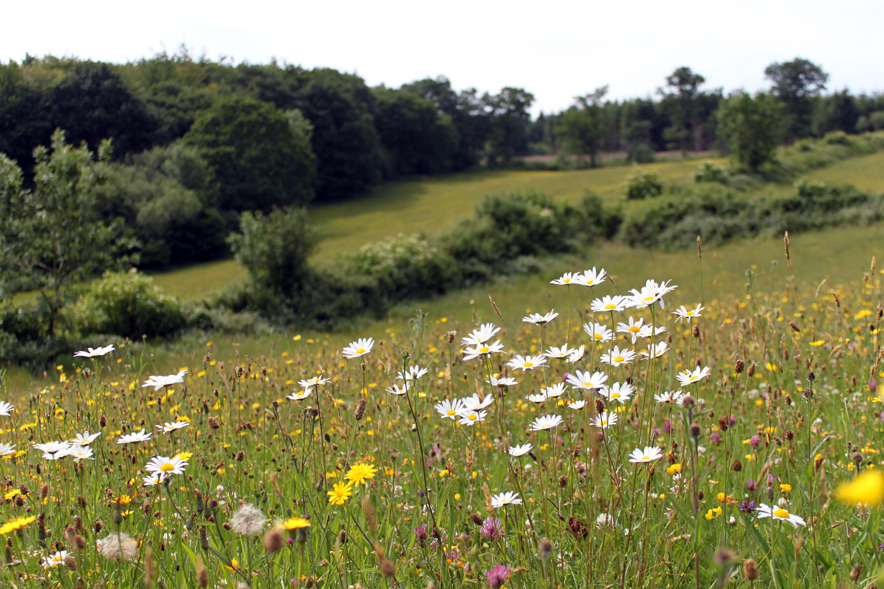 Herefordshire meadows for The meado