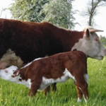 Catch up: Tom Blunt on Utilising Native Breeds for Conservation and Regenerative Grazing